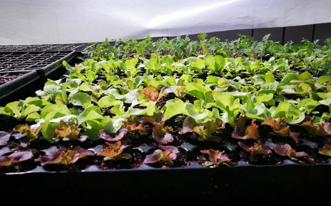 ¿Comprar plantel de huerta o hacer semilleros?